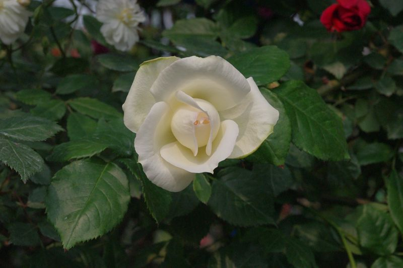2012rose045