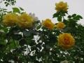 2012rose032