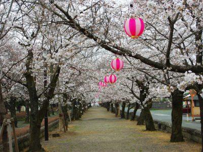 菊地神社参道の桜